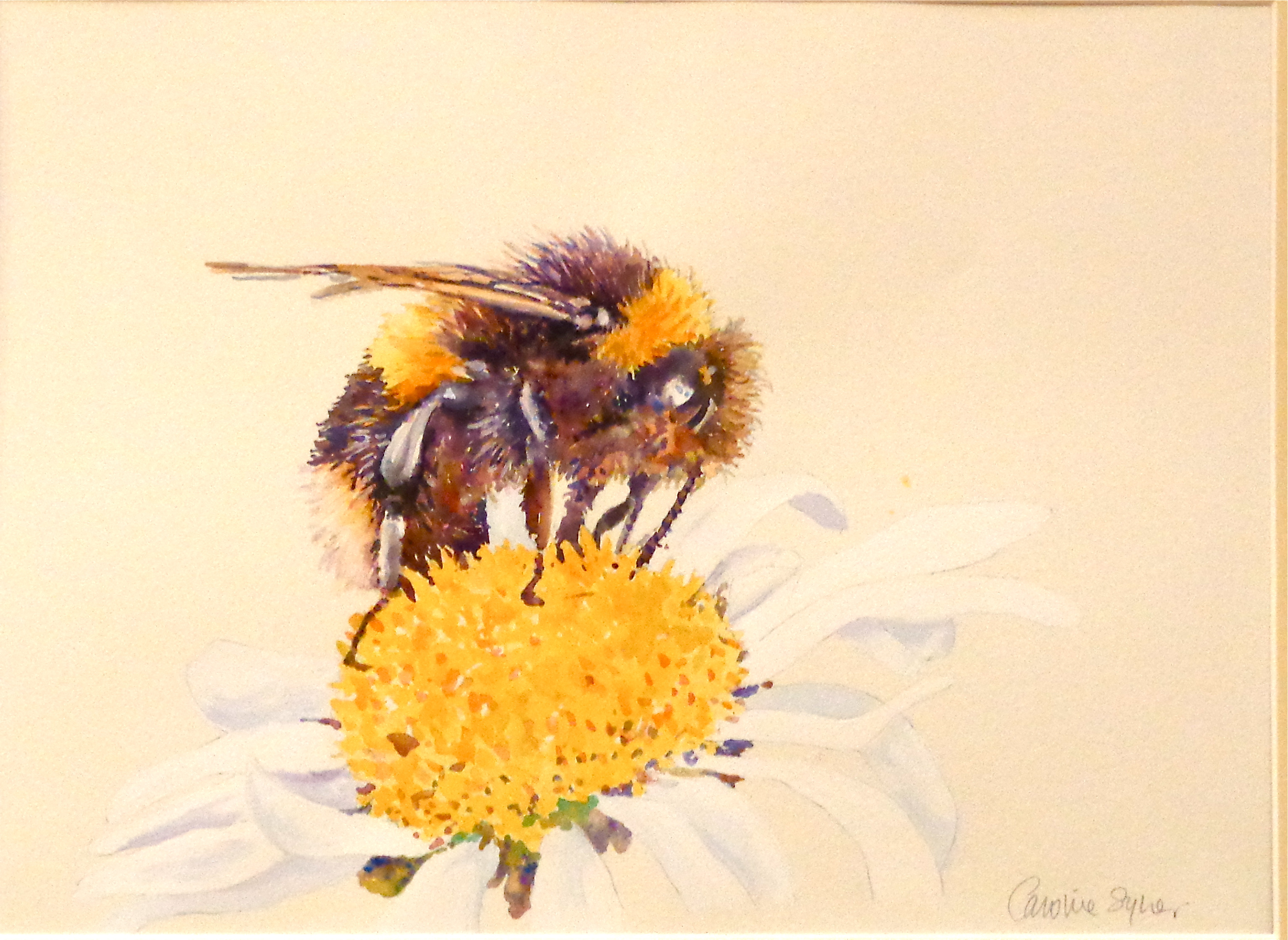 White Tailed Bumblebee On A Large Daisy Watercolour 15 X 11 Inches